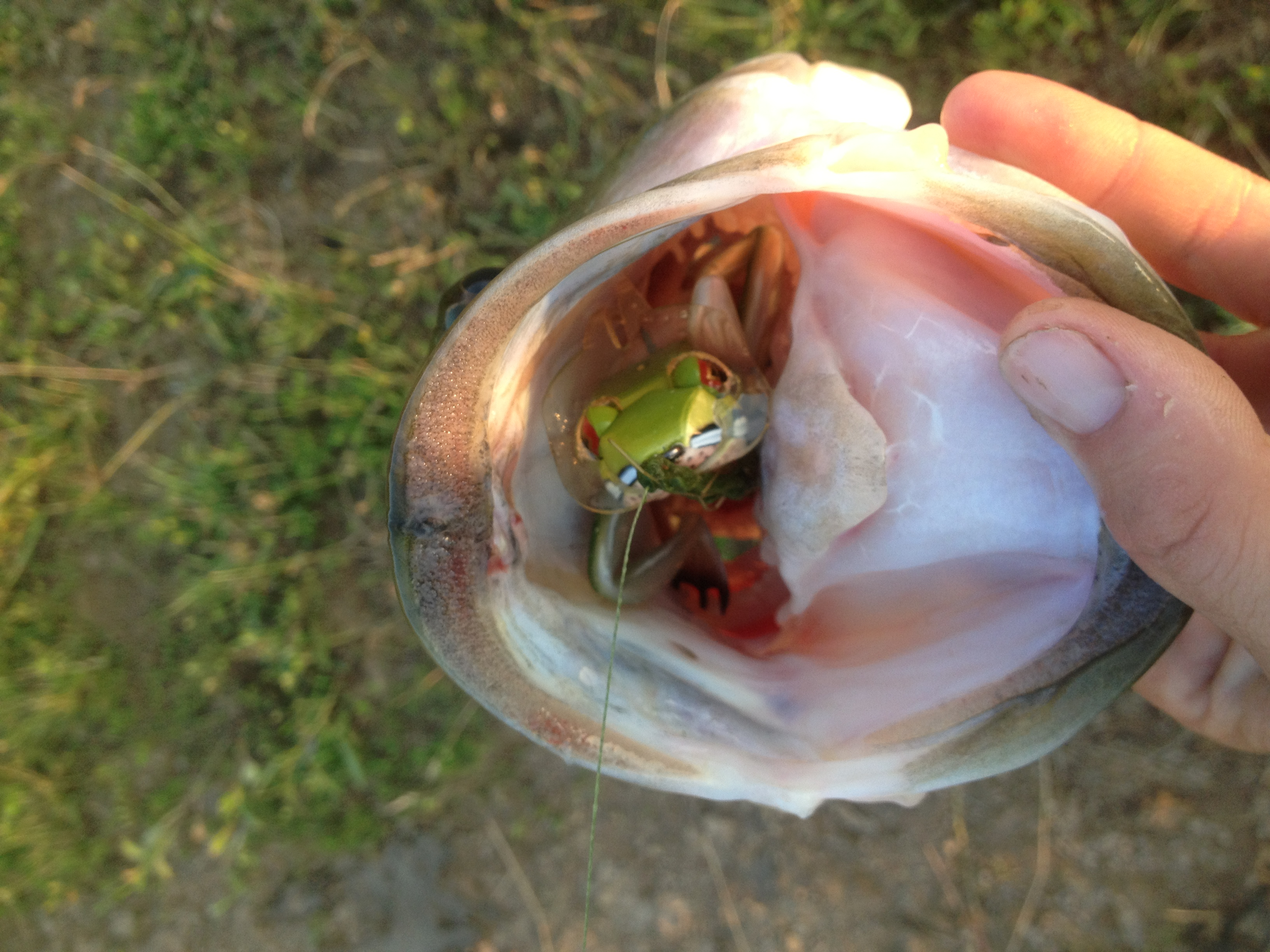 Dalhberg Frog Largemouth Bass